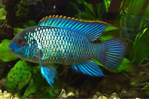 Electric blue acaras for sale and fish tank/stand