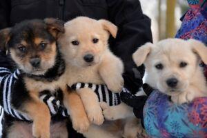 Adorable golden/lab mix puppies