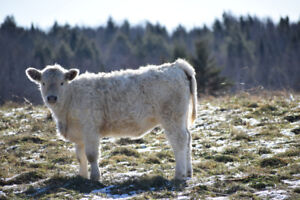 2 grassfed Charolais/Galloway cross beef heifers calves