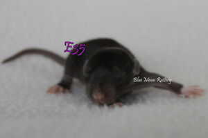 Baby female rats ready to go May 11 2017