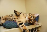10 month old Bengal Cat Simba NEED GONE ASAP