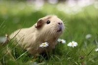 Cochon dinde, guinea pig