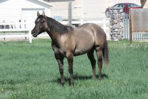Registered Quarter Horses