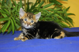 TOP QUALITY TICA REGISTERED SBT MARBLE BENGAL FEMALE 2