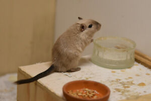 Beautiful Healthy Gerbils for Sale