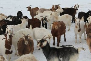 Sheep/Goat/Bred Ewe & Doe Sale - February 27 - Tofield, AB