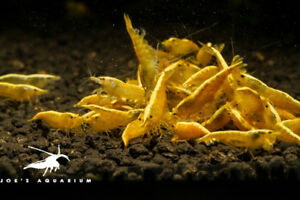 Golden Back Yellow Neocaridina Shrimp