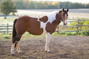 Registered Quarter Horse Paint Mare