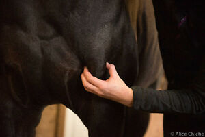 Rajat Rehab - Equine Massage and Rehabilitation