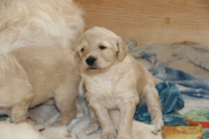 Chiots Labradoodles F2