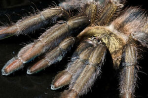 Tarantulas & Spiders - reduced and more rares added