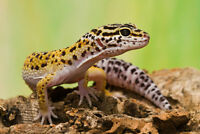 Female Leopard Geckos