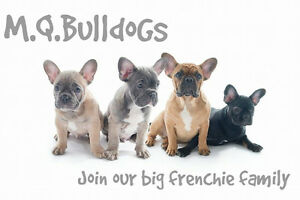 French Bulldog /bouledogue francais M.Q.BULLDOGS