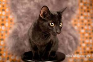 AK1095: Neo - CAT for ADOPTION - Vet work included Canning Vale Canning Area Preview