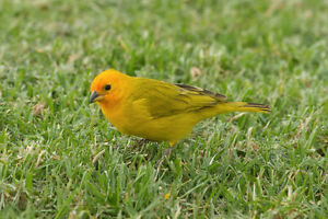 A pair of safron finches for sale very good health