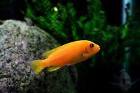 SPÉCIAL! - Cichlidé Cichlid pour aquarium d'eau douce