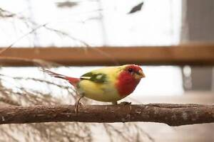 Finches - Exotics and Native Busselton Busselton Area Preview