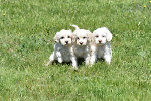Cockapoo Puppy (one male available)