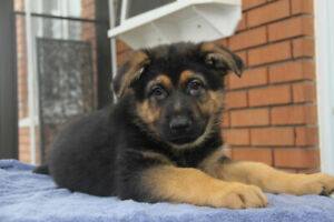 Chiots Berger Allemand pure race