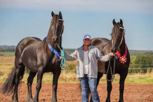 2 QUALITY FRIESIAN MARES FOR SALE!