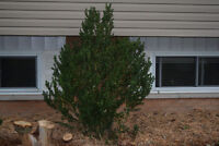 Small Pine tree - Dig it out, and it's yours