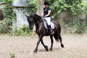 Pure Bred Friesian mares for sale
