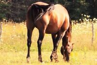 Retired Standardbred Stallion