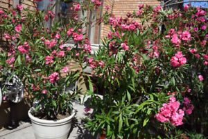 OLEANDER PLANT. Giant double flower. $100. FIRM