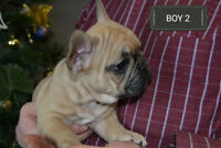 **Purebred Top Show quality French bulldog puppies**Video