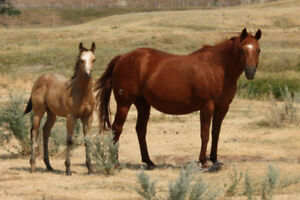 Registered Quarter Horses For Sale