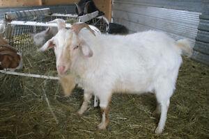 boer breeding buck