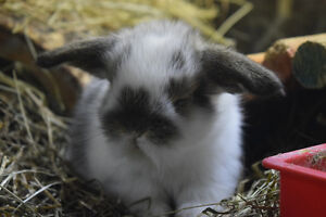 Taking deposits on Adorable baby mini Lops for Christmas! St. John's Newfoundland image 10