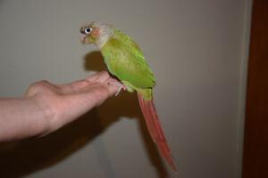Mâle conure nourri a la main