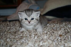 Silver Shaded Scottish Fold kittens