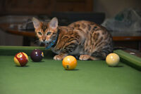 Southampton Lost MILO male rosette BENGAL CAT  BLUE COLLAR