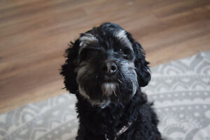 Hypoallergenic Cockapoo Dog for Rehoming