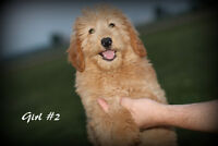 NEW LITTER OF ADORABLE F1 Mini Labradoodle Puppies!!