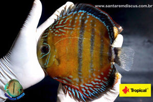 In Canada | For Sale | Wild Collected Discus | From Brazil