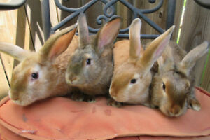 Satin / Satin Angora Cross Rabbits for Pets or for Brood