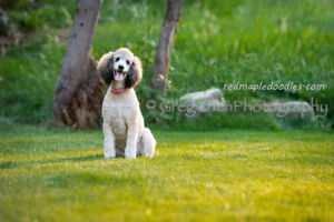 Guardian Home Needed for Our Standard Poodle Girl