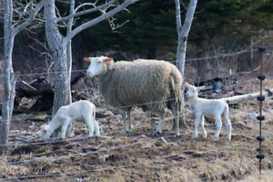 East Friesian Wether Lamb