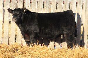 K-Cow Ranch Bull Sale