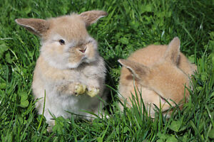 Adorable Holland lop baby bunnies