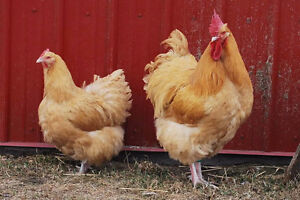 Four Buff Orpington Heritage Breed Chickens