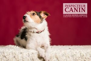 Jack jack russell terrier pour adoption !