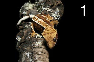 Crested Geckos Available