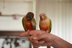 Two Very Tame Conures with Large steel cage