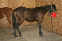 """AQHA registered filly """"Coffee Be Smart"""""""