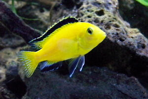 NEW SHIPMENT OF BEAUTIFUL AFRICAN CICHLIDS FOR SALE