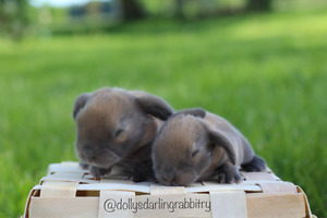 Last female baby holland lop available